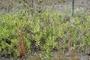 Goodeniaceae - Scaevola kilaueae