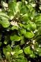 Goodeniaceae - Scaevola taccada