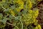 Asteraceae - Delairea odorata
