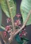Rutaceae - Melicope puberula
