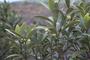 Rutaceae - Melicope waialealae