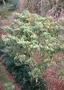 Solanaceae - Capsicum frutescens