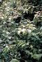Solanaceae - Solanum sandwicense