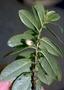 Pentaphylacaceae - Eurya sandwicensis