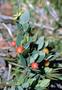 Thymelaeaceae - Wikstroemia phillyreifolia