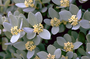 Thymelaeaceae - Wikstroemia uva-ursi var. uva-ursi