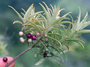 Primulaceae - Myrsine petiolata