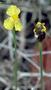 Xyridaceae - Xyris complanata