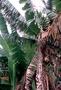 Musaceae - Musa troglodytarum