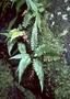 Blechnaceae - Blechnum appendiculatum