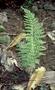 Aspleniaceae - Asplenium dielmannii