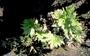 Pteridaceae - Doryopteris decipiens