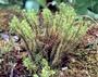 Lycopodiaceae - Huperzia erubescens