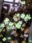 Marsileaceae - Marsilea villosa