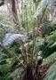 Blechnaceae - Sadleria cyatheoides