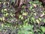 Blechnaceae - Sadleria squarrosa