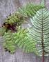 Blechnaceae - Sadleria unisora
