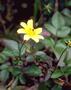 Asteraceae - Bidens valida