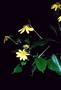 Asteraceae - Bidens henryi