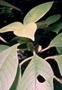 Gesneriaceae - Cyrtandra menziesii