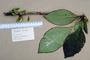 Gesneriaceae - Cyrtandra wagneri