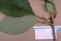 Gesneriaceae - Cyrtandra tintinnabula
