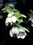 Caryophyllaceae - Schiedea lychnoides