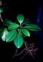 Amaranthaceae - Charpentiera ovata var. ovata