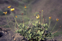 Asteraceae - Bidens molokaiensis