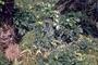 Asteraceae - Bidens macrocarpa