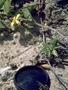 Asteraceae - Bidens mauiensis