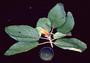 Asteraceae - Hesperomannia arbuscula