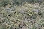 Asteraceae - Lipochaeta lobata subsp. lobata