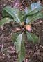Asteraceae - Hesperomannia arborescens