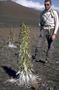Asteraceae - Argyroxiphium sandwicense subsp. macrocephalum