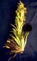 Asteraceae - Argyroxiphium grayanum