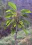 Amaranthaceae - Charpentiera elliptica