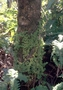 Rubiaceae - Nertera granadensis