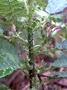 Campanulaceae - Cyanea platyphylla