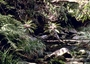 Campanulaceae - Cyanea rivularis