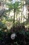 Campanulaceae - Cyanea tritomantha