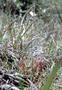 Droseraceae - Drosera anglica