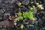 Asteraceae - Dubautia scabra subsp. scabra