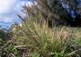 Poaceae - Eragrostis variabilis