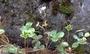 Rosaceae - Fragaria chiloensis subsp. sandwicensis
