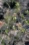 Rubiaceae - Kadua coriacea