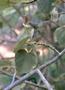 Malvaceae - Hibiscadelphus giffardianus