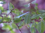 Thymelaeaceae - Wikstroemia sandwicensis