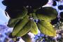Salicaceae - Xylosma crenatum
