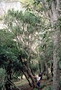 Asparagaceae - Chrysodracon aurea